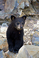 A Black Bear Cub seems to pose for a photo in Yellowstone National Park