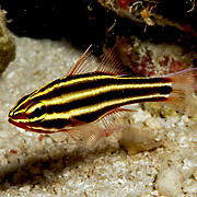 Blackstripe Cardinalfish inhabit reefs lurking under ledges and in caves. Picture taken Forgotton Islands Chain, Watubela Islands group, Kasoiui Island, Indonesia.