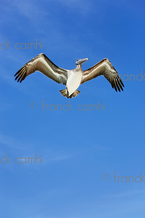 pelican on blue sky  of the beautiful white sand beach of cozumel island in yucatan mexico