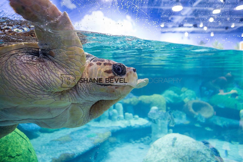 3/2/17 11:00:11 AM -- The ribbon cutting and grand opening of the new sea turtle exhibit at the Oklahoma Aquarium in Jenk, Okla. <br /> <br /> Photo by Shane Bevel