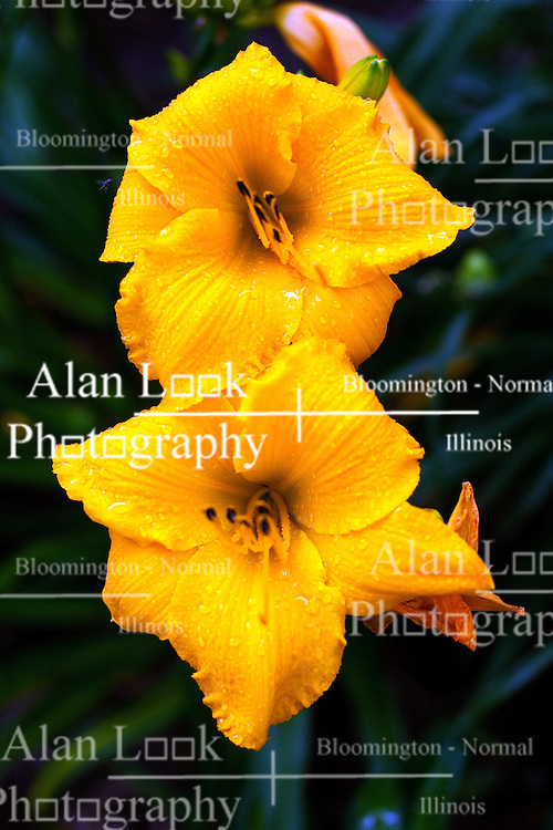 27 June 2010: Flowers blooming in a garden. Large yellow lilies with black pollen pods.