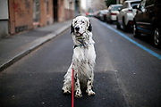 """English Setter """"Rudy"""" am 02.02. 2019 auf einem Spaziergang im Prager Stadtteil Zizkov. Rudy wurde Anfang Januar 2017 geboren."""