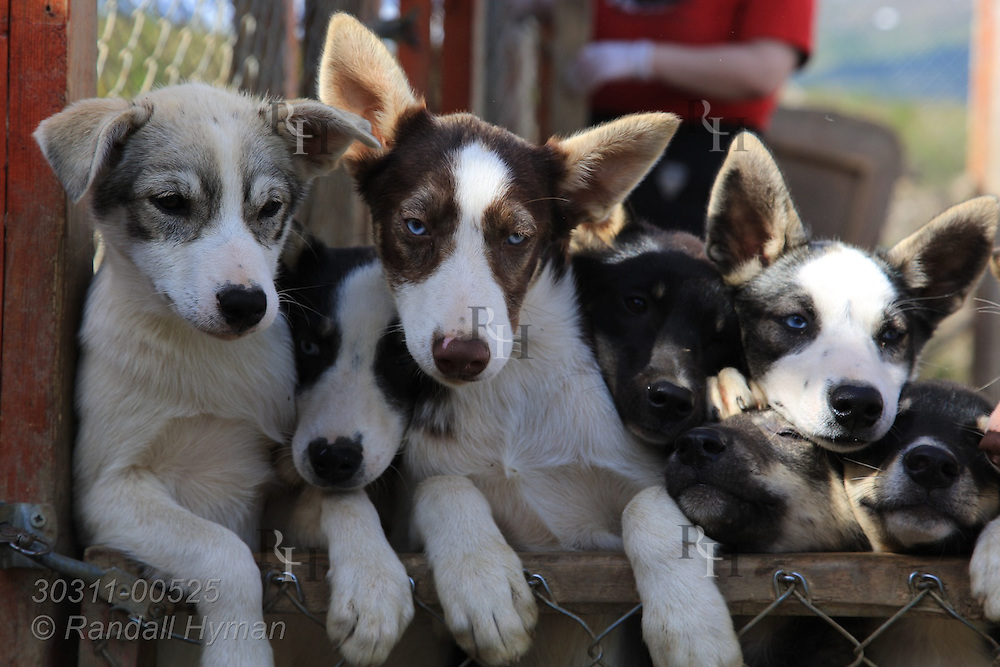Young, untrained sled dogs crowd against gate eager to leave pen at Tromso Villmarkssenter sled dog center on Kvaloya Island outside city of Tromso, Norway.