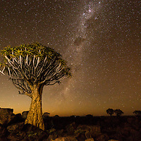 Africa, Namibia, Keetmanshoop, Stars above Quiver Trees (Aloe dichotoma) in Kokerboomwoud (Quiver Tree Forest)