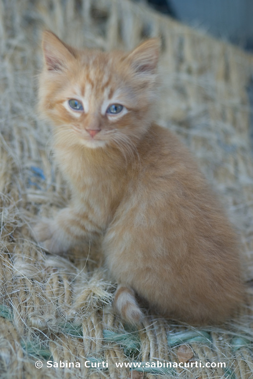 Family farm, baby cat kitten on small sustainable family farm in Hillsdale, Columbia County, NY, New York