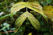 Kinabalu National Park, lowland dipterocarp forest, Sabah, Borneo