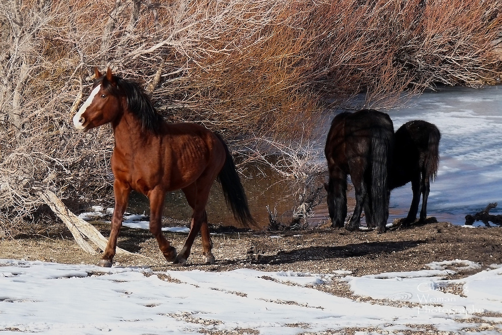 A mustang stallion guards his small harem of mares and the ice-bound watering hole from which they drink in this winter scene from Cold Creek, Nevada. Horizontal image.