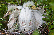 Baby Blue Herons in a nest on a rockery in Lake Boeuf in Lafourche Parish, part of Southern Louisiana's wetlands. Southeastern Louisiana's wetlands were threatened by the BP oil spill but containment of the Macondo well saved most of the bayous lakes and waterways that make their way to the Gulf of Mexico. Louisiana's wetlands are threaten by coastal erosion, climate change and the oil and gas industry.