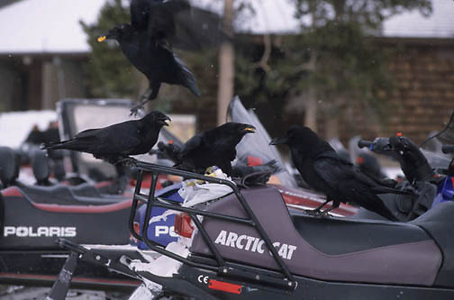 Common Raven, (Corvus corax) Stealing food from snowmobilers in Yellowstone National Park.