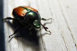 06 July 2008: Japanese beetle