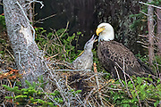 Bald Eagle -  Haliaetus leucophalus in the nest with the eaglet