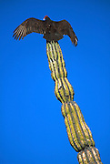 MEXICO, BAJA CALIFORNIA SOUTH Buzzard perched on giant Cardon cactus while drying its wings at sunrise