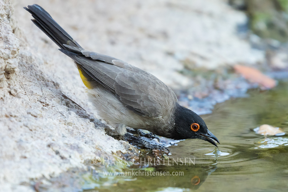 A redeyed bulbul sips water from a small pool, Damaraland, Namibia.
