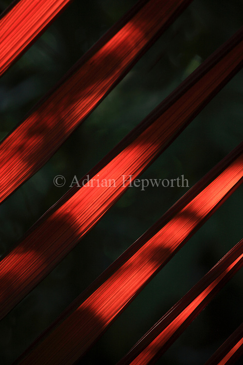 Welfia Palm (Welfia regia) backlit by sunlight. La Selva Biological Station, Costa Rica. <br />