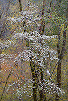 As spring descended in the Smokies, the blooming<br /> dogwoods complemented other flowering trees. Back<br /> lighting added to the overall charm of this typical spring<br /> scene.<br /> ALLURE OF SPRING was made in the Great Smoky National<br /> Park in Tennessee.