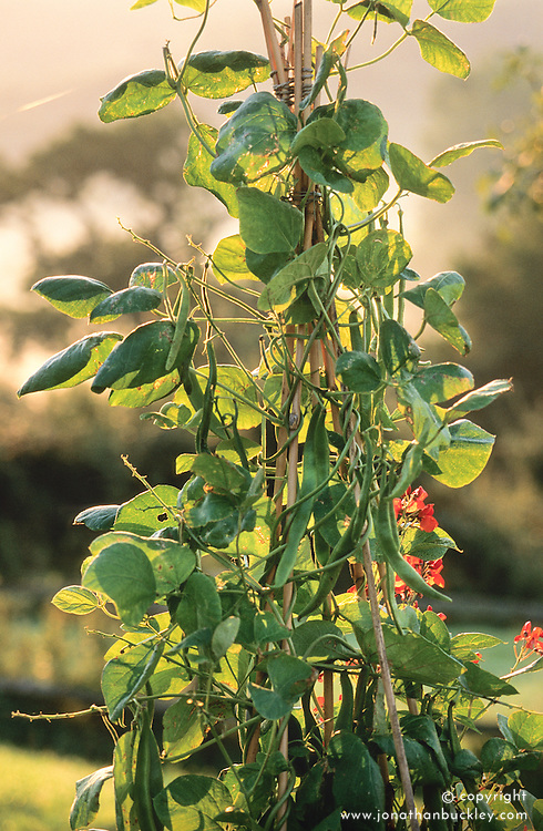 Runner bean 'Polestar' growing on teepee.