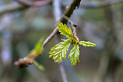 New leaf emerging on English Oak tree, Quercus robur, as Spring turns to Summer in Exmoor, Somerset, UK