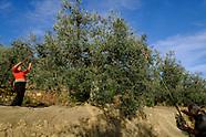 Italy - Tuscany: Olive harvest.