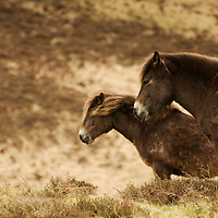 Ponies at the moors of Exmoor national park