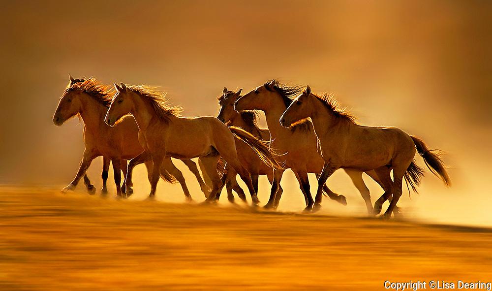 Wild Sulphur Mustangs