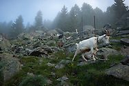 Some goats around the hut.  Village of Brontallo (Switzerland) July 05, 2014. Beñat and Nathalie spend two months (July and August) on Spulüi, at 1.900 meters, taking care of goats and making cheese. Their children Kemen (7 years old) and Oihu (18 months) are with them. (Gari Garaialde / Bostok Photo)