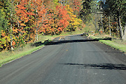 Four young white-tailed deer scamper across a Wexford County, Michigan road.