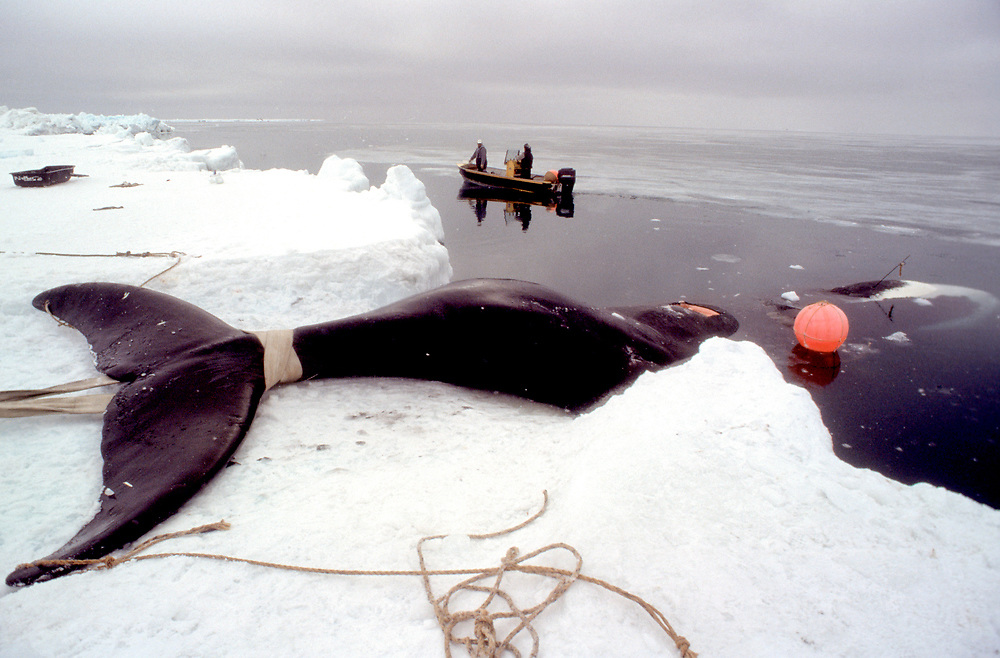 Barrow, Alaska, the carcass of a bowhead whale is pulled onto the Chukchi Sea ice