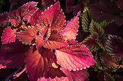 coleus at Bellingrath Gardens; Theodore, Alabama