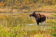moose (Alces alces) in pond in Kananaskis Country<br /> Kananaskis Country<br /> Alberta<br /> Canada
