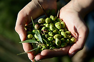 A sample of fresh olives that have been gathered from the trees. The month of November is prime olive harvesting season on the Greek island of Crete . Commissioned by PR Media Co.
