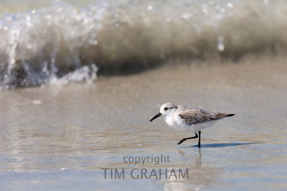 Sanderling, Calidris alba, one of the wading shorebirds, stepping in the surf on beach shoreline at Captiva Island, Florida USA