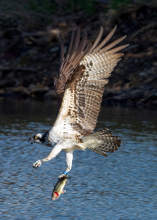Three year old osprey female (J3) flying with fish catch over Wally Toevs Pond, Boulder Colorado. This osprey was born in Montana and banded near Beck's Pond on 09Jul2013.