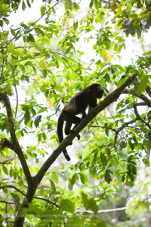 A male Mantled Howler monkey (Alouatta palliata) climbs up a tree in the Costa Rican rainforest - Costa Rica