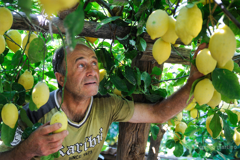 Atrani Antonio Pizzoferro working near is lemon trees between Atrani and Scala.