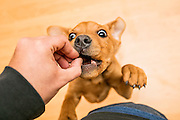 first person view of a hand feeding a playful brown dog, indoors