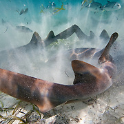 Nurse Sharks at Stingray Alley, Ambergris Caye, Belize
