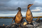 Flightless Cormorants (Phalacrocorax harrisi) on nest<br /> Fernandina Island. Western Isles of Galapagos Islands<br /> ECUADOR.  South America<br /> ENDEMIC TO GALAPAGOS