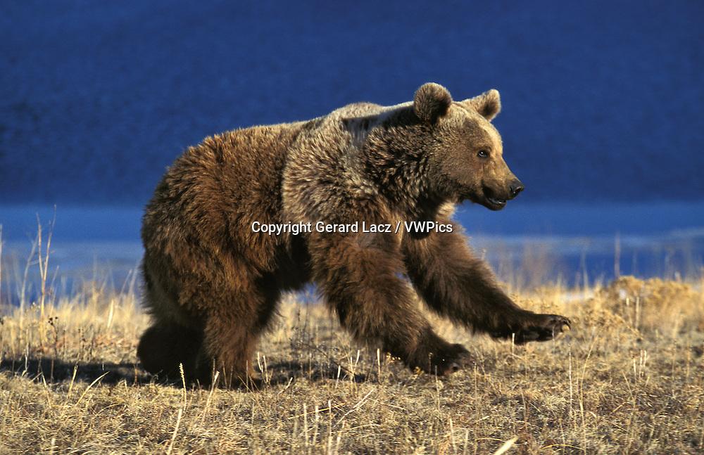 Grizzly Bear, ursus arctos horribilis, Adult running, Alaska