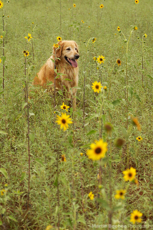 golden retriever sitting in field of wildflowers, Prescott National Forest, Arizona