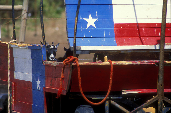 Texas flags painted onto a wagon with goats inside
