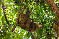 one sloth on the branch of a tree in the forest of Nicaragua