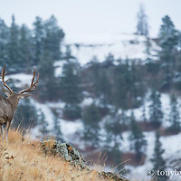 trophy mule deer buck from behind walking away into mountains