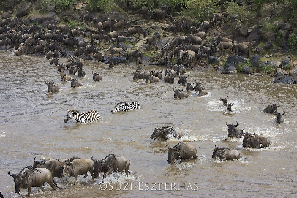 Wildebeest<br /> Connochaetes taurinus<br /> Maasai Mara Reserve, Kenya<br /> Wildebeest crossing the Mara River