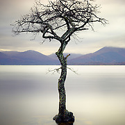 Millarochy bay tree, Loch Lomond, Scotland