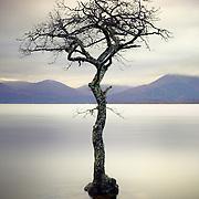 Millarochy bay tree, Loch Lomond, Scotland