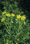 YELLOW SAXIFRAGE Saxifraga aizoides (Saxifragaceae) Height to 20cm. Colourful, clump-forming perennial of streamsides and damp ground in mountains.<br /> FLOWERS are 10-15mm across with bright yellow petals; borne in clusters of 1-10 flowers (Jun-Sep). FRUITS are dry capsules. LEAVES are fleshy, narrow, toothed and unstalked. STATUS-Locally common in N England, Scotland and N Ireland.