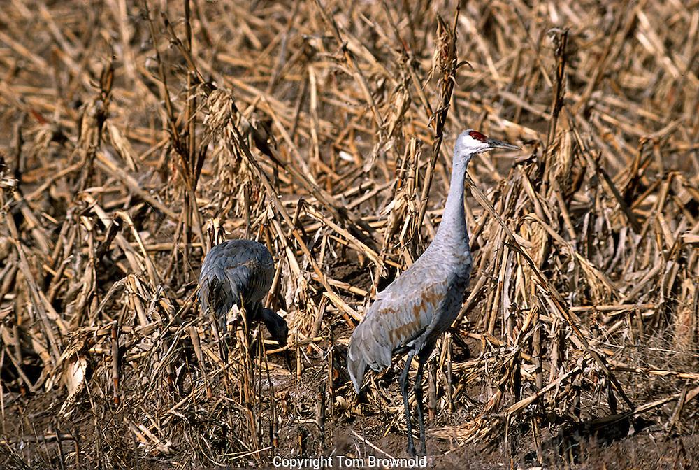 Sandhill Cranes feeding, in Bosque Del Apache preserve