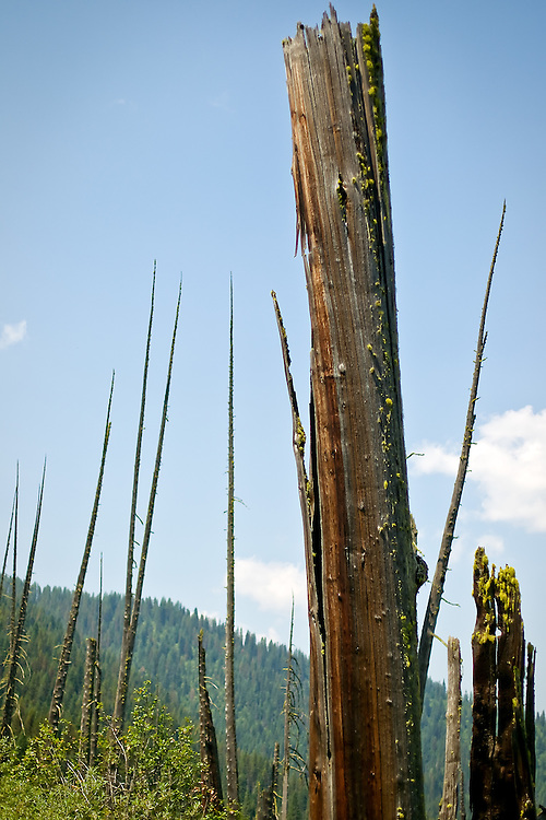 """The stand of """"Ghosts Cedars"""" snags litter the landscape in along Moon Pass Road about 10 miles north of Avery."""