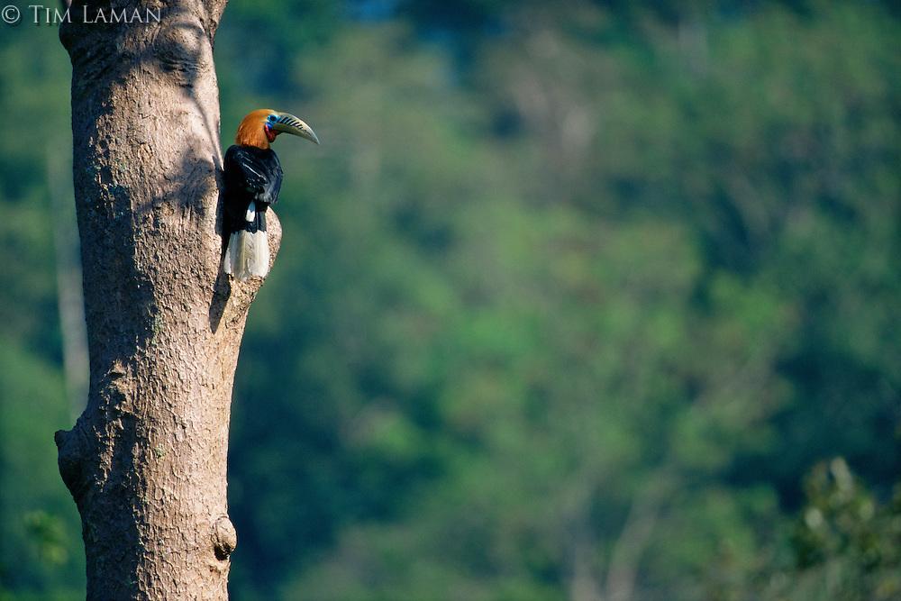 Rufous-necked hornbill (Aceros nipalensis) at his nest sight..Huai Kha Khaeng Wildlife Sanctuary, Thailand.