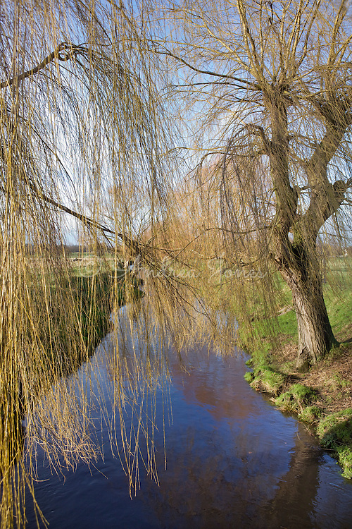 Salix babylonica (Weeping willow) growing over a stream in Richmond Park, Surrey, England.